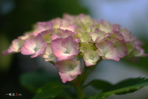 紫陽花A.jpg