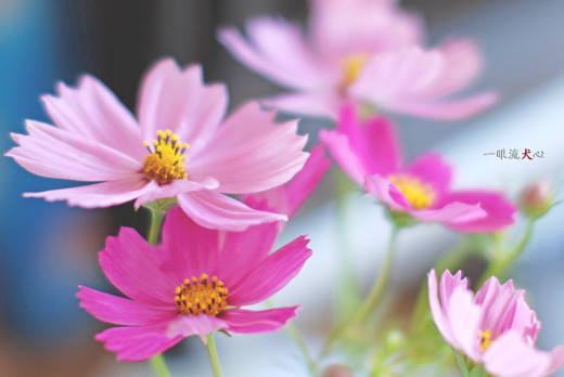 秋桜A.jpg